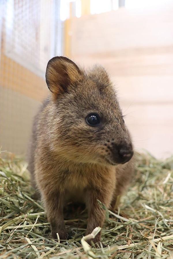 埼玉県こども動物自然公園にクオッカがやって来た…国内での飼育は唯一 3枚目の写真・画像