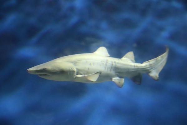 シロワニの赤ちゃん一般公開、他のサメと同じ水槽へ…アクアワールド茨城県大洗水族館   動物のリアルを伝えるWebメディア「REANIMAL」