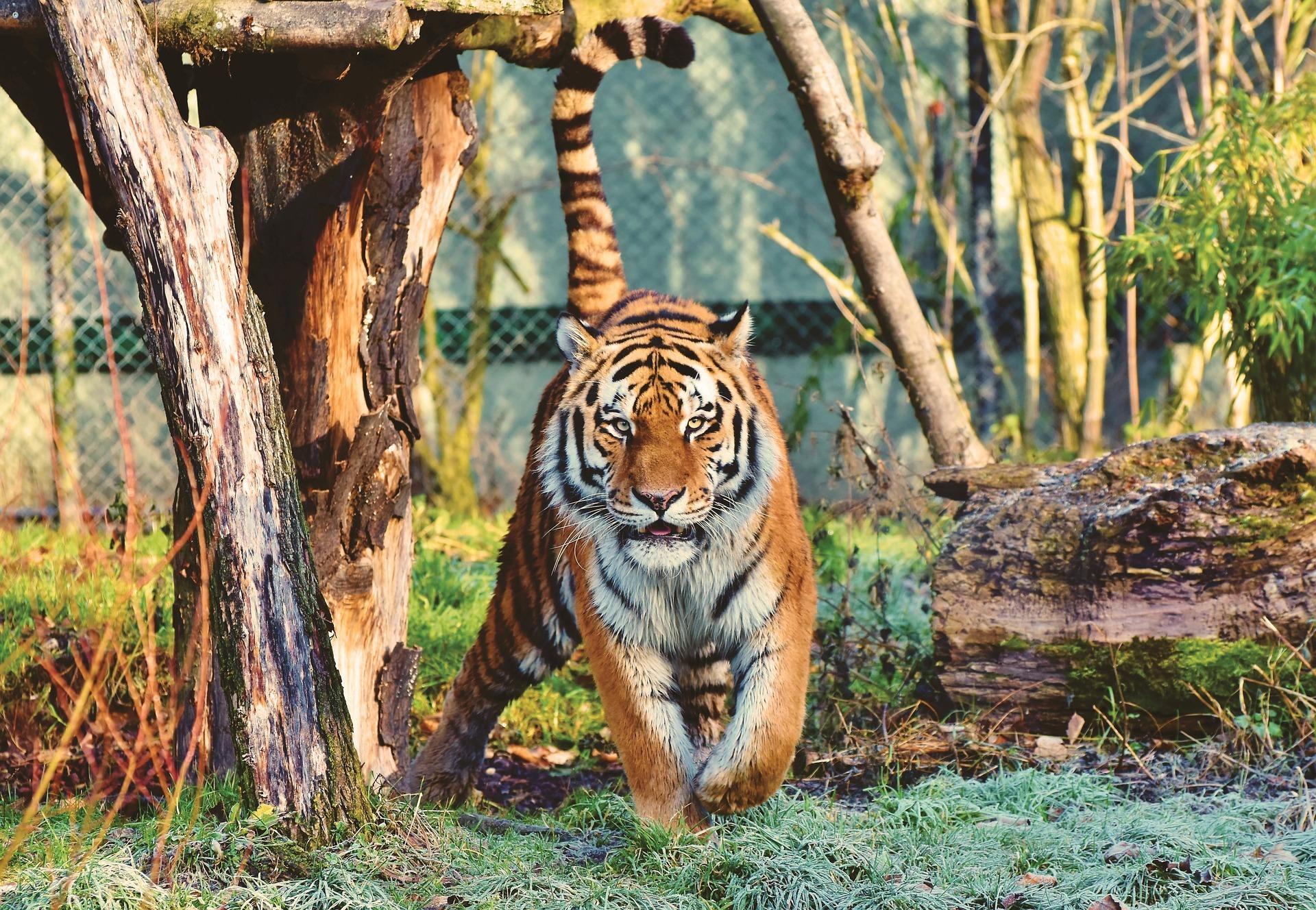 NYの動物園で、トラから新型コロナウイルス検出との報道…全米獣医師会 ...