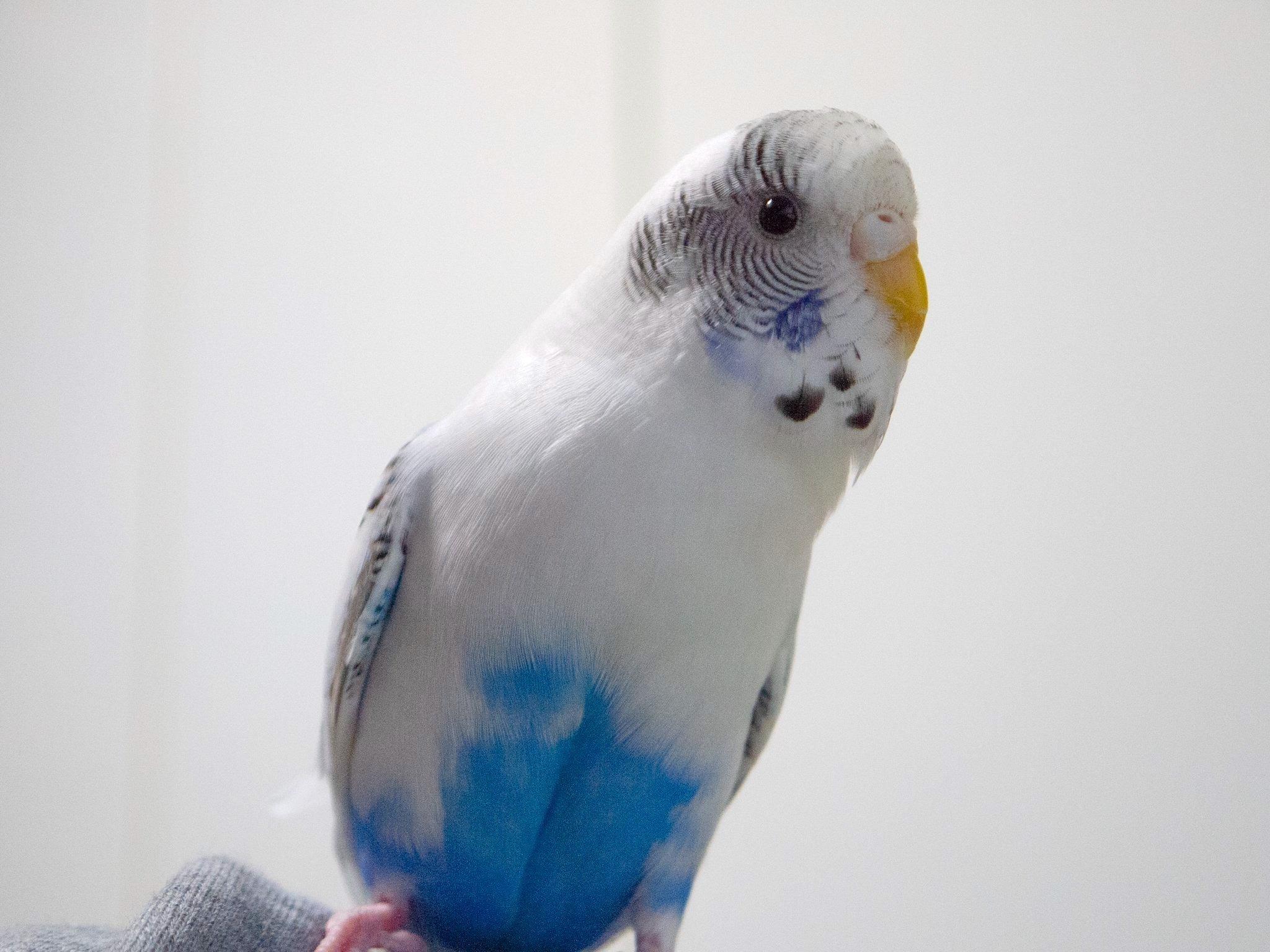セキセイインコと暮らす日々】忙しい鳥は幸せな鳥…エンリッチメントに ...