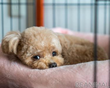 犬 ヒート 避妊手術