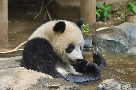 球 パンダ 肉 パンダは笹や竹が好きなわけではない、昔は肉を食べていた!