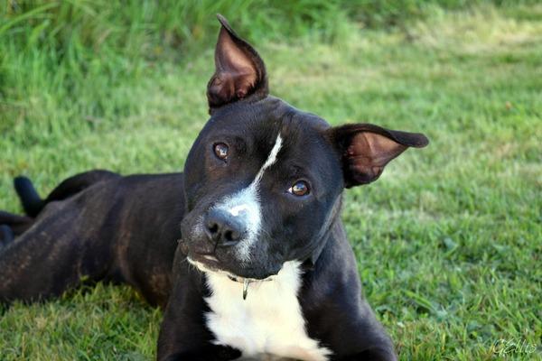 「ピットブルタイプ」は危険な犬種とされる地域が多い(写真はイメージ)