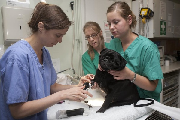 ブルークロスに保護され、動物病院で診察を受けるパグ