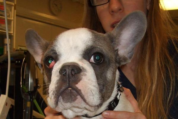 瞼が飛び出してしまう「チェリーアイ」の治療が必要となったフレブルは、まだ5か月齢