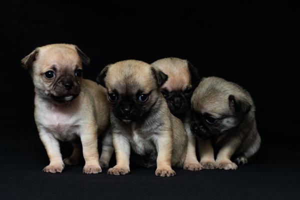 動物福祉を第1に考えるプロのブリーダーから子犬を迎えたい