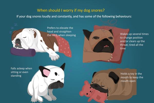 短頭犬種が継続的に大きないびきをかく場合の注意点