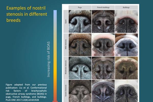 左からパグ、フレブル、ブルドッグの鼻孔の状態を示す。一番上が正常な状態で、下に行くほど狭窄がきつく呼吸器疾患のリスクが上がる