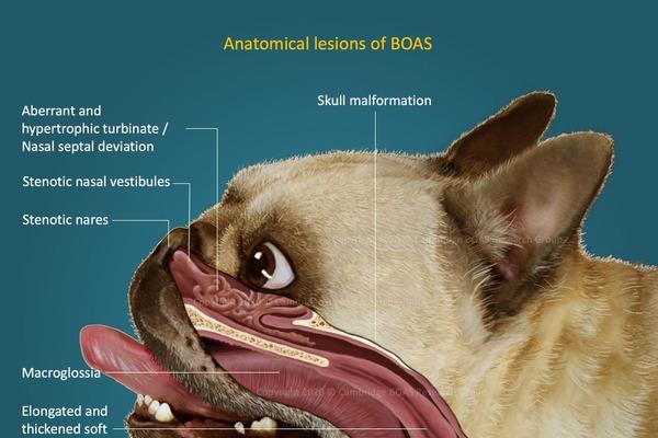 短頭犬種には、鼻、喉、舌、気管や頭蓋骨の形成不全が頻発する
