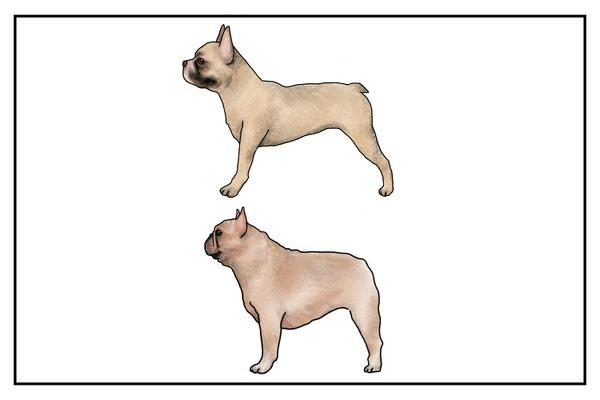 オリジナルに近い体形のフレブル(上)と、現在のドッグショーで「優秀」とされるブレブル(下)