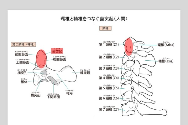 第1頸椎と第2頸椎は「歯突起」と靭帯がつなぐ