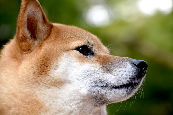 独立心も残す柴犬