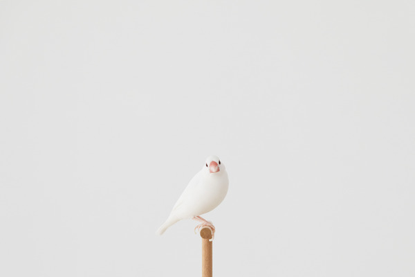 白文鳥のBECKは2歳の男子