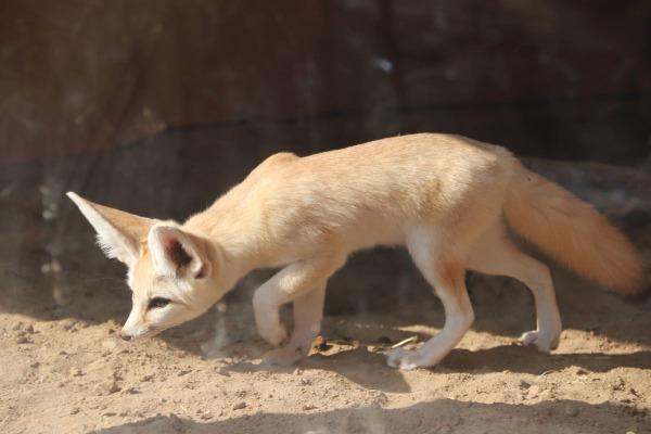 埼玉県こども動物自然公園のフェネック