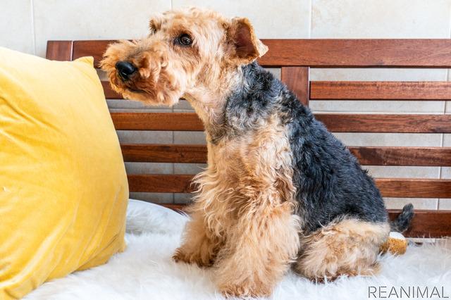 人と暮らすのに適した性格の血筋を残してきたTERRIER'Sのお母さん犬(ウエルッシュテリア)